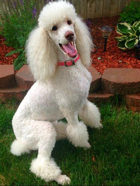 french poodle haircut pictures 4012 best images about poodles poodles poodles on