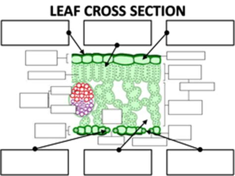 cross section of a leaf worksheet structure of the leaf by amcooke teaching resources tes