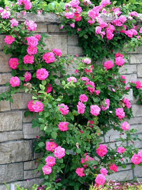when to plant climbing roses cultivation information guide asiafarming
