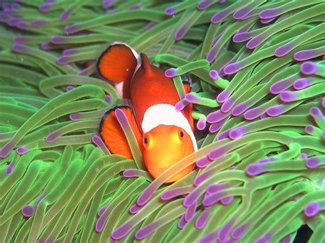 anemone finding nemo finding nemo anemone related keywords finding nemo
