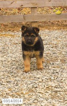 german shepherd puppies for sale in pa 1000 images about german shepard on german shepherd puppies puppies for