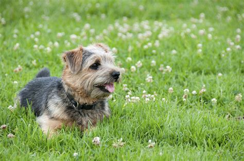 Norwich Terrier Shedding by Norwich Terrier Caract 232 Re Et 233 Ducation Ooreka
