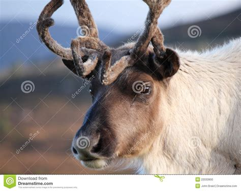 reindeer close up stock photo image 22033900