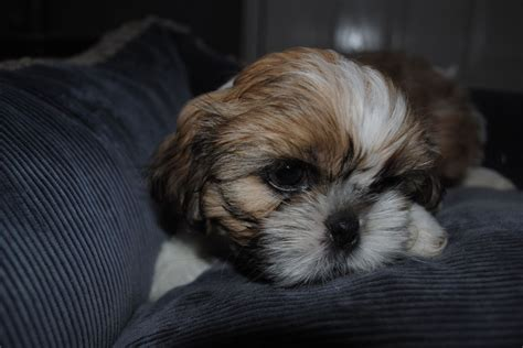 shih tzu puppies for sale in nottingham five shih tzu puppies nottingham nottinghamshire pets4homes