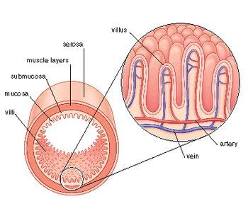 sections of the small intestine labeled villi