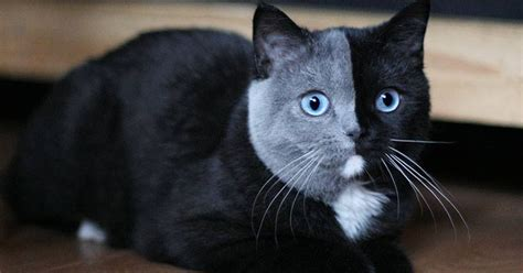 two faced cat named narnia has purrfectly two toned face