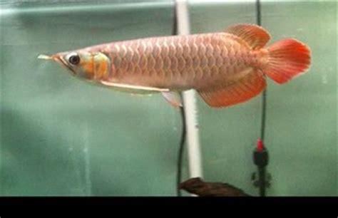 Bibit Arwana Brazil lezatnya peluang usaha budidaya ikan hias air tawar