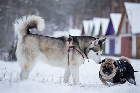 pug and husky behaviour breeds archives practical paw the toolkit