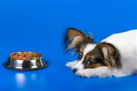 my puppy won t eat inappetence when your dog just won t eat a thing the