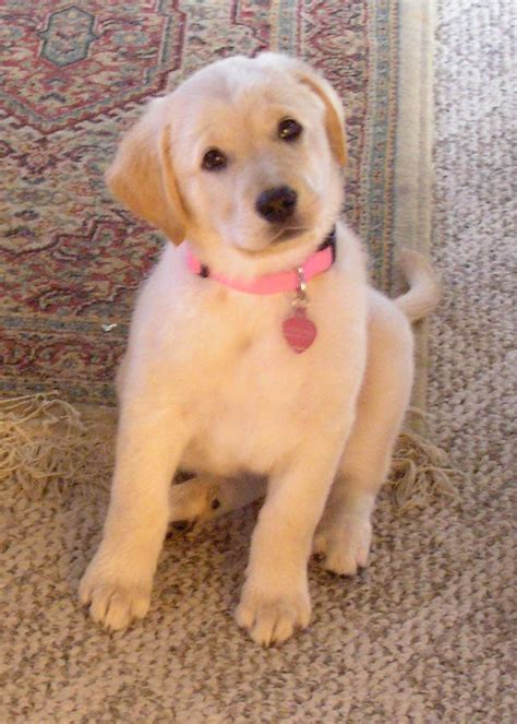 golden retriever and lab puppies golden retriever lab mix puppies for sale