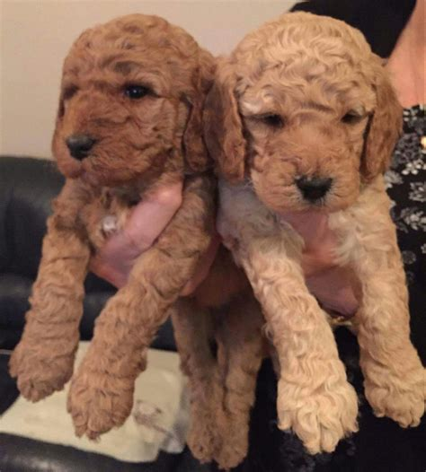 mini doodle puppies for sale uk f3b miniature labradoodle puppies for sale liverpool