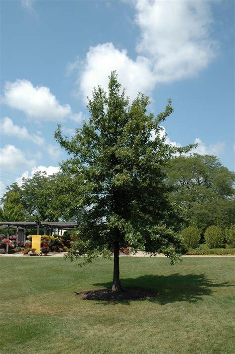 shingle oak quercus imbricaria  columbus dublin