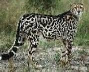 Jaguar Mixed With Zaruncia Wildkatzenlexikon Mutanten Und Kreuzungen