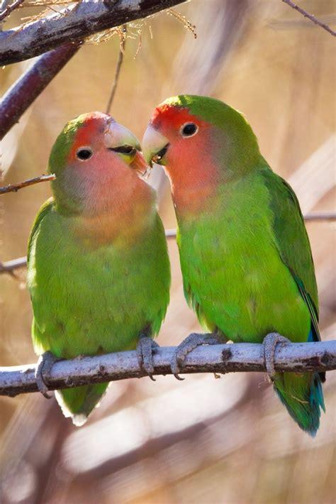 arizona parakeets wild parakeets in az pinterest