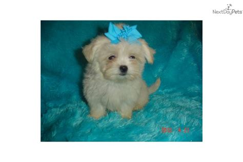 teacup shih poo puppies for sale meet buffy a shih poo shihpoo puppy for sale for 395 teacup shih poo