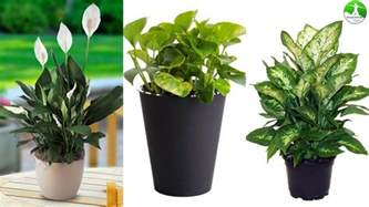 indoor plants 10 indoor plants that are poisonous and dangerous