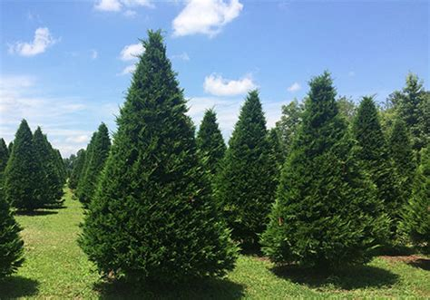christmas trees landscape trees pinestead tree farms