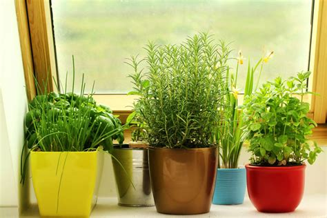 how to grow herbs indoors how to grow herbs indoors this winter quiet corner