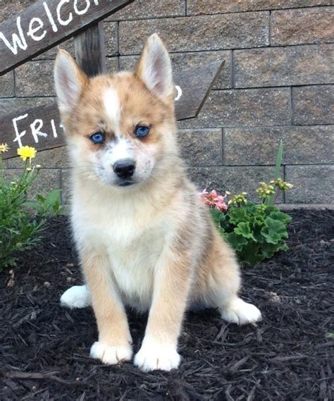 puppies okc pomsky puppies for sale oklahoma breeds picture
