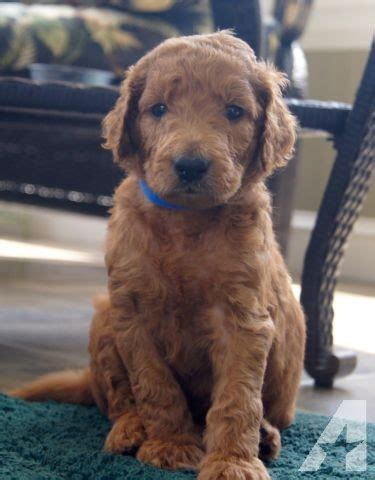 goldendoodle puppy for sale in nc goldendoodle puppy f2b non shedding for sale in raleigh