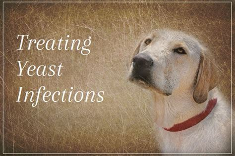 yeast infections in dogs skin yeast infection on dogs breeds picture