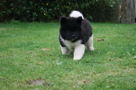 american akita american akita puppies for sale image search results breeds picture
