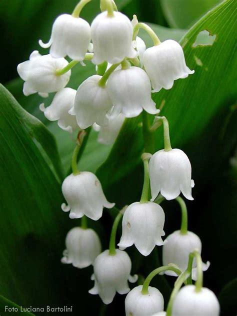 testo fiore di maggio fiore di maggio fare di una mosca