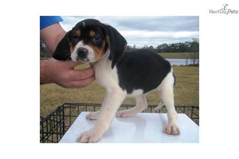 treeing walker puppies treeing walker coonhound puppy for sale near northwest ga 1d362ec9 d551