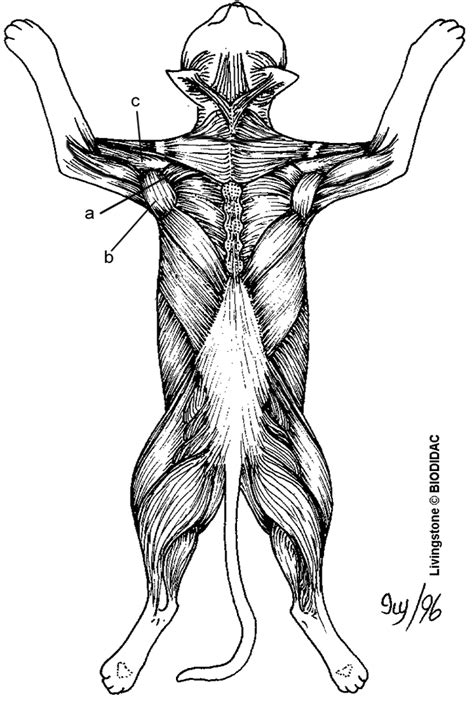 Anatomy Muscle Coloring Worksheet Coloring Pages Anatomy Coloring Pages Muscles