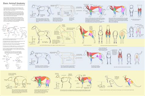 basic animal anatomy by majnouna on deviantart