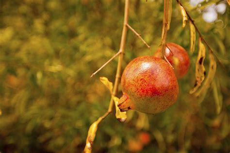 pomegranate tree leaf loss common reasons  pomegranate