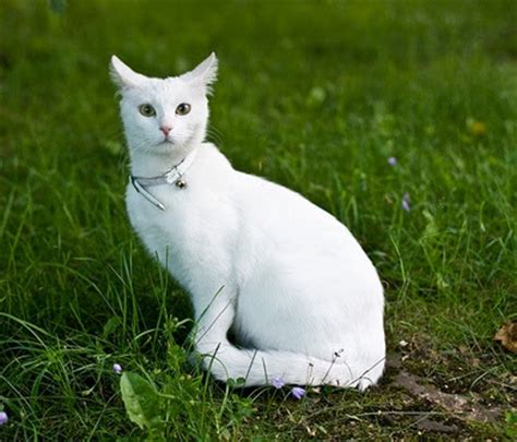 imagenes en blanco de gatos trucos infalibles para saber si tu gato est 225 sordo