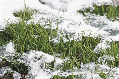 snow mold can damage your lawn layton utah earthworks