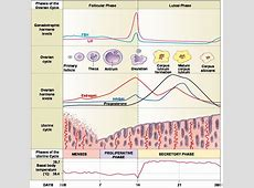 Human reproduction « KaiserScience Female Period Cycle
