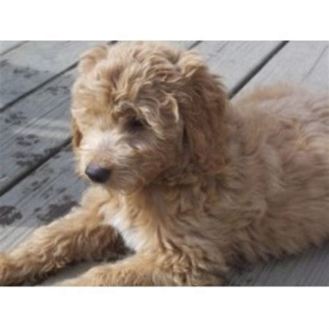 goldendoodle puppy washington state mini goldendoodle breeders in wa breeds picture