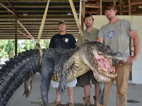 mississippi hunters the state s heaviest alligator