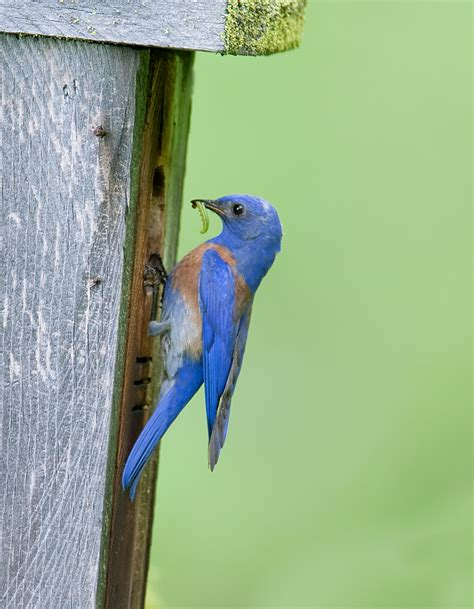dna analysis of bluebird feces reveals benefits for vineyards