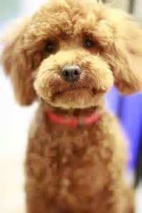 poodle teddy cut omg sooo puppy