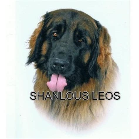 pug puppies for sale in norfolk and suffolk leonberger studs in scotland wales and ireland freedoglistings uk