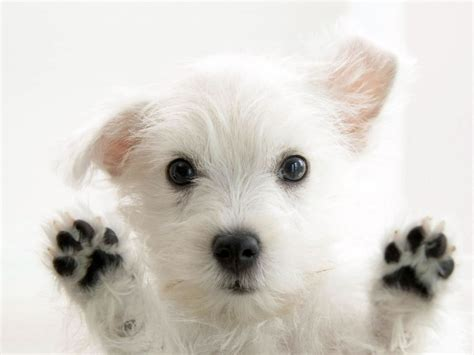 white puppys so white photo wallpaper dogs wallpapers backgrounds