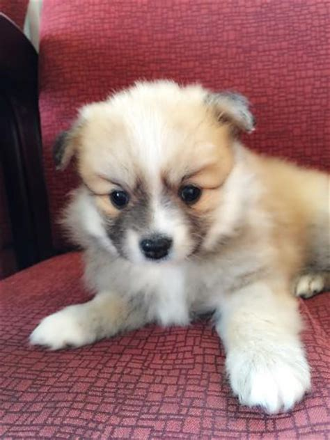 light brown pomeranian for sale pomeranian puppies for sale pomeranian part 3