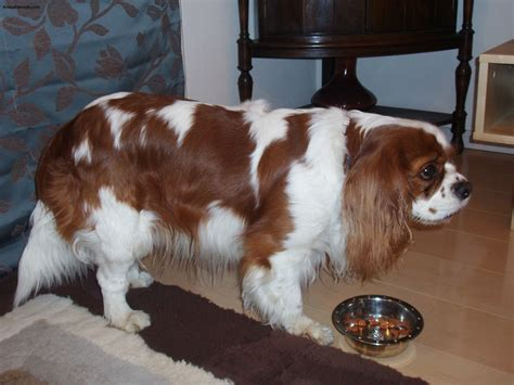 King Cavalier Spaniel Shedding by Cavalier King Charles Spaniel Pictures Information