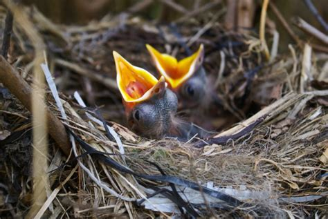 how hungry is my baby bird earth rangers wild wire blog