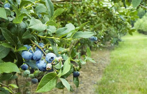 Backyard Berries by 13 Fabulous Backyard Berry Bush Ideas