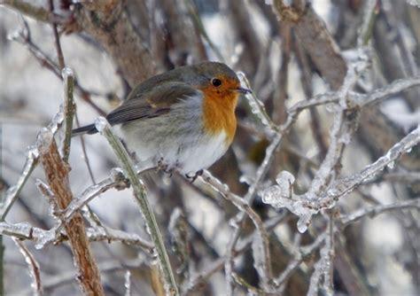 Rotkehlchen Im Winter 4661 by Das Rotkehlchen Freund Des G 228 Rtners Kuriose Tierwelt