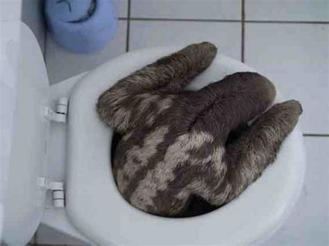 sloth going to the bathroom the story of this potty trained sloth danitsja is