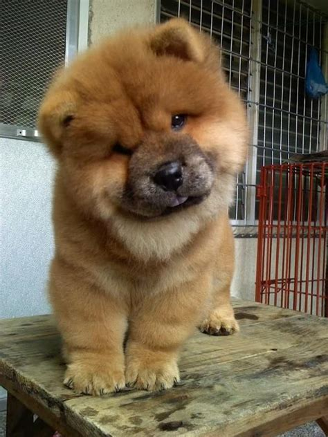 chow puppy 25 best ideas about chow chow on chow chow puppies fluffy puppies and