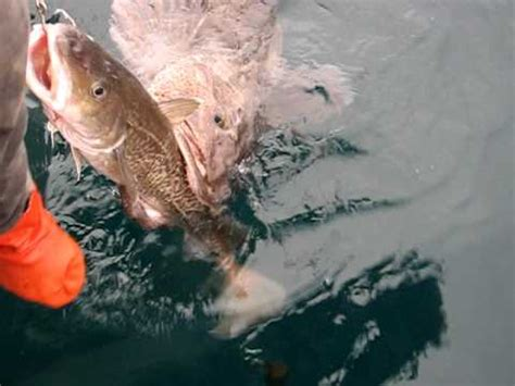 What Does A Ling A Line Look Like In A Ponytail | alaskan killer ling cod must see must see must