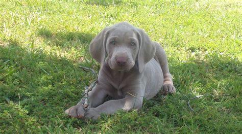 silver weimaraner puppies for sale got weimars weimaraner breeder south carolina