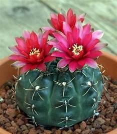 best 25 cactus flower ideas on pinterest desert flowers flowers in bloom and amazing flowers
